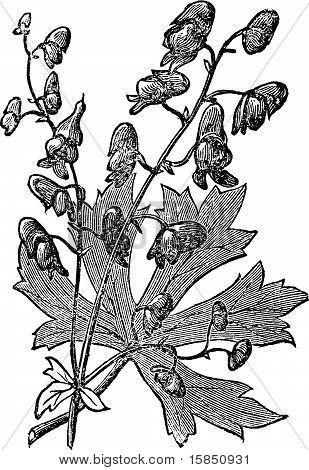 Flower Of Monkshood Or Aconitum Napellus Engraved Illustration.