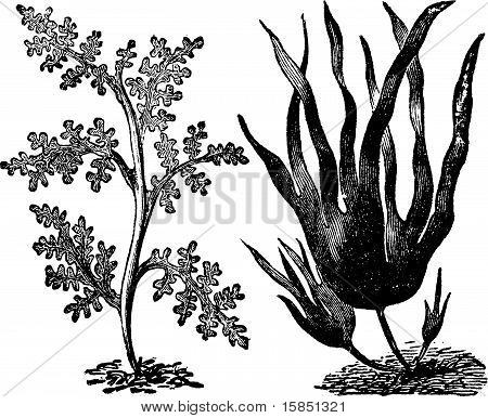 Pepper Dulse, Red Algae Or Laurencia Pinnatifida (left). Oarweed Or Laminaria Digitata (right). Vint
