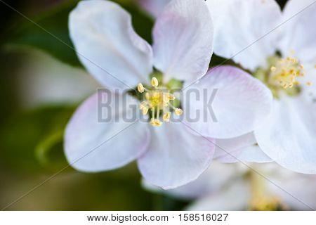 Close up of the apple tree flowers.