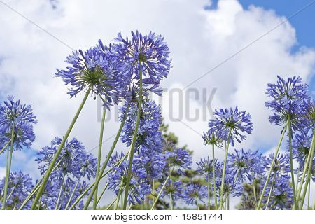 Agapanthus africanus ,African lily.