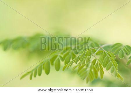 macro shot of moringa leaves(moringa oleifera)