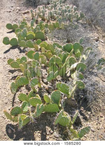Several Cactus Species, Grand Canyon National Park, United States