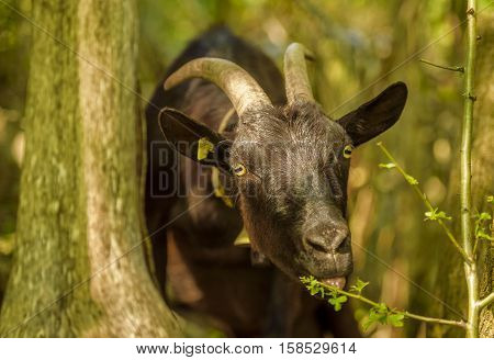 Domestic goat eating leaves  - Image with a black goat at a swiss farm eating leaves from a tree branch. The picture was taken near the village Quinten Switzerland