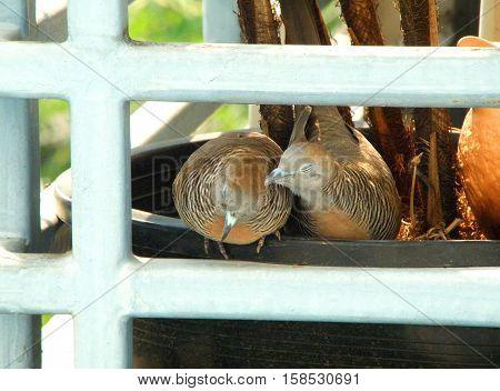 Wild Zebra Dove preening its mate on a planter at the balcony