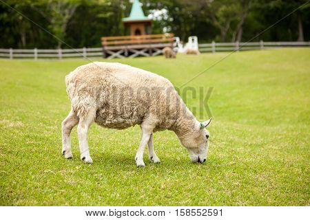 Sheeps in a meadow in the mountains. Sheep in the Field