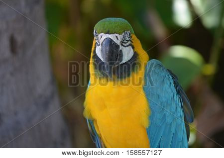 Gorgeous sitting blue and gold macaw bird on a perch.