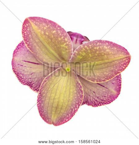 Reverse side of flower. Violet phalaenopsis orchid blossom isolated on white background