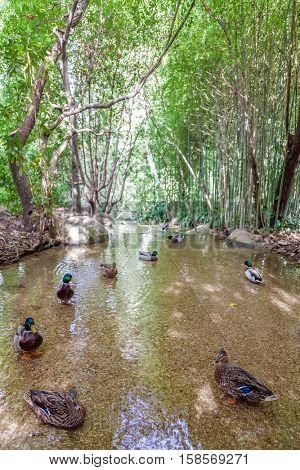 Lisbon, Portugal - October 19, 2016: Mallard ducks swimming on a small creek at the garden of the Calouste Gulbenkian foundation. A very popular urban park.
