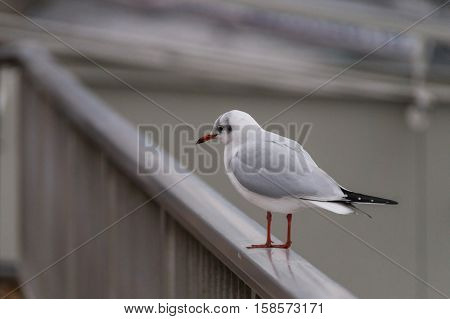 A SEAGULL SITS ON A  RAILING. CLOSE-UP OF A SEAGULL