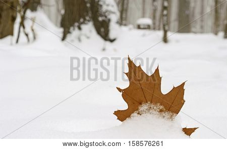 Moving to Canada Great White North Maple leaf nature background or card covered in snow in forest nature image with copy space for winter holiday announcement, invitation, advertisement or end of season message