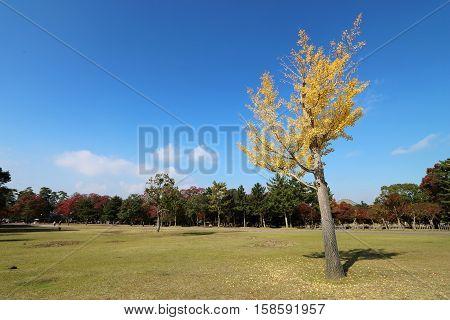 Ginkgo Biloba tree leaves turning into yellow in Autumn in Nara