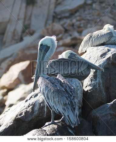 Pelicans roosting on Pelikan rock and boulders at Lands End in Cabo San Lucas Baja Mexico BCS