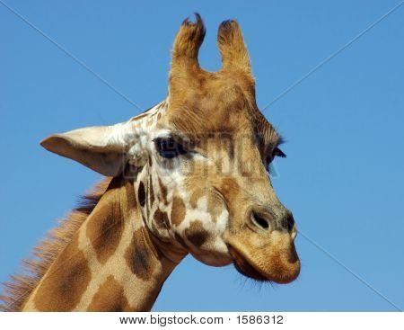 Giraffe Headshot