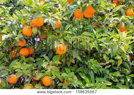 Colorful Orange tree  with oranges at Sicilian Island