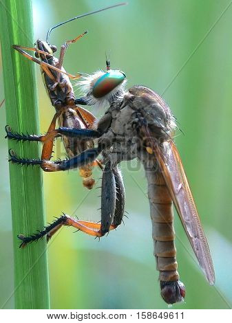 Robber fly were eating on the green grass