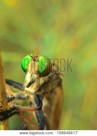 robber fly waiting for prey with the keen eyes
