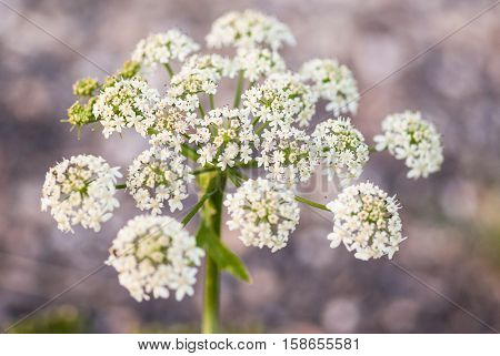White Cow parsley flower (Anthriscus sylvestris) as close up with a diffuse background