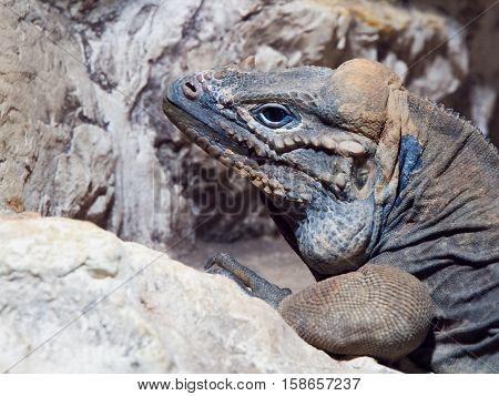 Rhinoceros iguana, aka Goliath Dragon, Cyclura cornuta, threatened species of lizard of Caribbean, Dominican Republic, Central America. Profile view.
