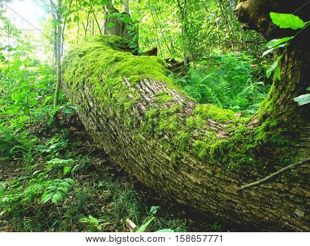 Fallen tree in the forest. Ukrainian forest primeval. Here, in World War II stationed guerrilla camp. This forest is very drevniy.Zdes grow relict pines, oaks. It was chosen by a fallen tree beavers. Under a tree hole, where these animals live. A little f