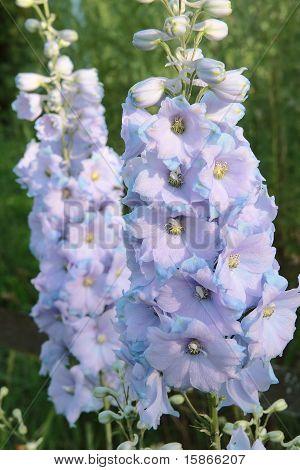 Two Flower Delphinium