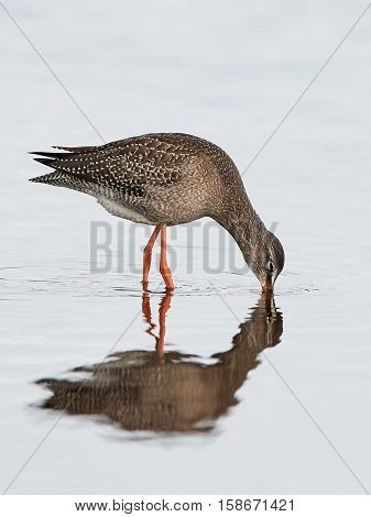 Spotted redshank looking for food in water in its habitat