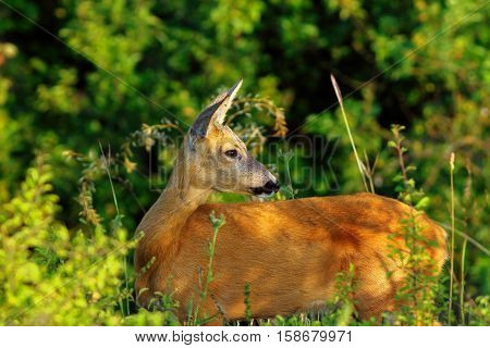 close up of wild roe deer doe in the forest ( Capreolus )