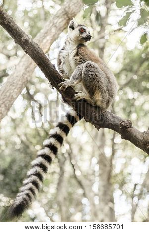 Ringtail Lemur at primate rescue center near Plettenberg Bay, South Africa
