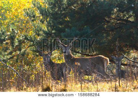 red deer stags in natural habitat ( Cervus elaphus )