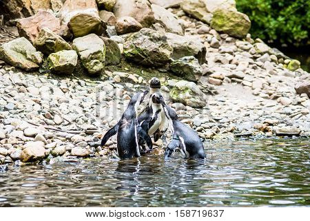 Several Magellanic Penguin (Spheniscus Magellanicus) at the beach. waiting for a penguin that comes out of the water with fish