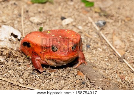 Big red Tomato frog, species of genus Dyscophus (Dyscophus antongilii). It can be found in Maroantsetra city ditch. When threatened, a tomato frog puffs up its body. Madagascar wildlife
