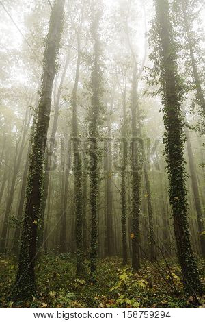 Foggy autumn forest. Morning in a misty deciduous forest