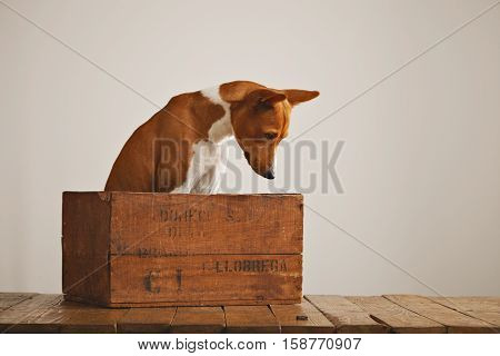 Curious well behaved basenji dog sitting in a small wooden crate looks at the rustic brown wooden floor