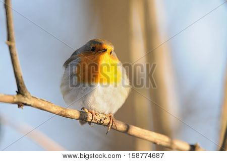 Perching European Robin (Erithacus rubecula) in winter. Moscow Russia