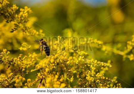 small working bee flying away with honey in golden wildflowers