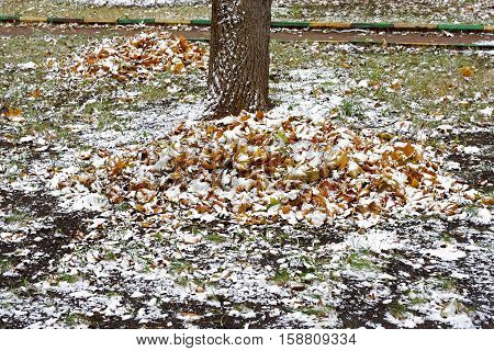 The first snow in a big pile of collected fallen autumn leaves lying near the tree. Autumn landscape.