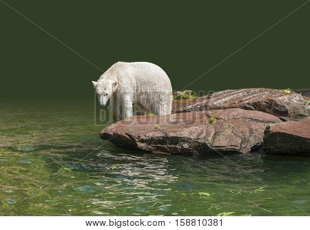 Polar Bear In Wet Ambiance