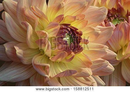 Dahlia (Dahlia x cultorum). Close up image of flower