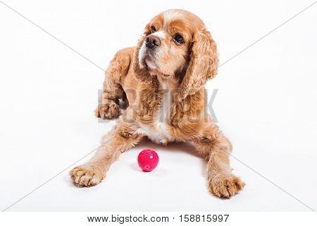 An elderly cocker spaniel with his ball.