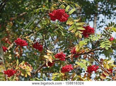 Red berries of a mountain ash against the background of branches and leaves an autumn time