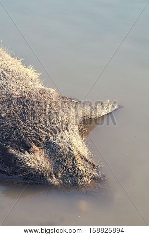 Dead Boar Wild Animal Drowned in the Water Vertical
