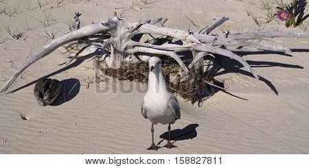 Seagull & Driftwood on a pristine sandy tropical island beach. Fraser Island Queensland Australia .