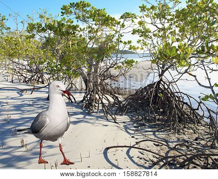Beautiful Silver Gull (Seagull) on a pristine tropical island beach with mangrove trees at the world heritage listed Frazer Island Queensland Australia.