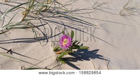 Beautiful pink and yellow flower on a pristine tropical island beach at the world heritage listed Frazer Island Queensland Australia. This tropical island is the largest sand island in the world with numerous pristine white sandy beaches and crystal clear
