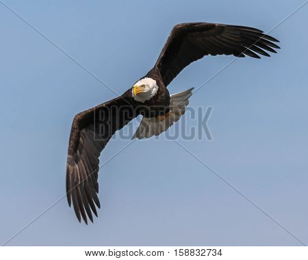 A bald eagle flapping its wings high in the sky