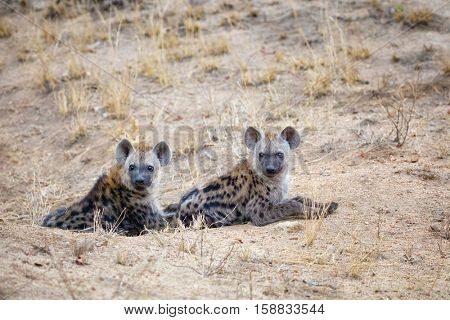 To young spotted hyena cubs emerge from their den. Kruger National Park, South Africa.