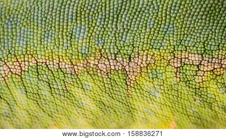 Veiled chameleon (Chamaeleo calyptratus) skin. Macro shot.