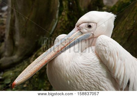 Great white pelican (Pelecanus onocrotalus), also known as the rosy pelican.