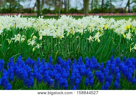 fresh white spring growing blooming daffodils and bluebells flowers