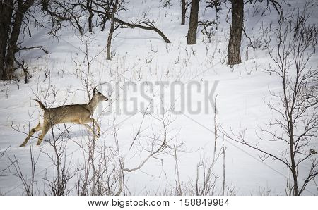 horizontal image of a baby dear jumping across the snow banks amid some brush and trees in the winter time.