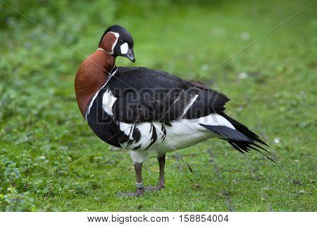 Red-breasted goose (Branta ruficollis). Wildlife animal.